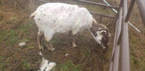 sheep icelandic